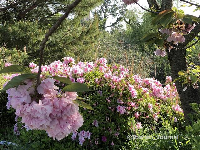 0420辨天さんの桜とつつじIMG_1797