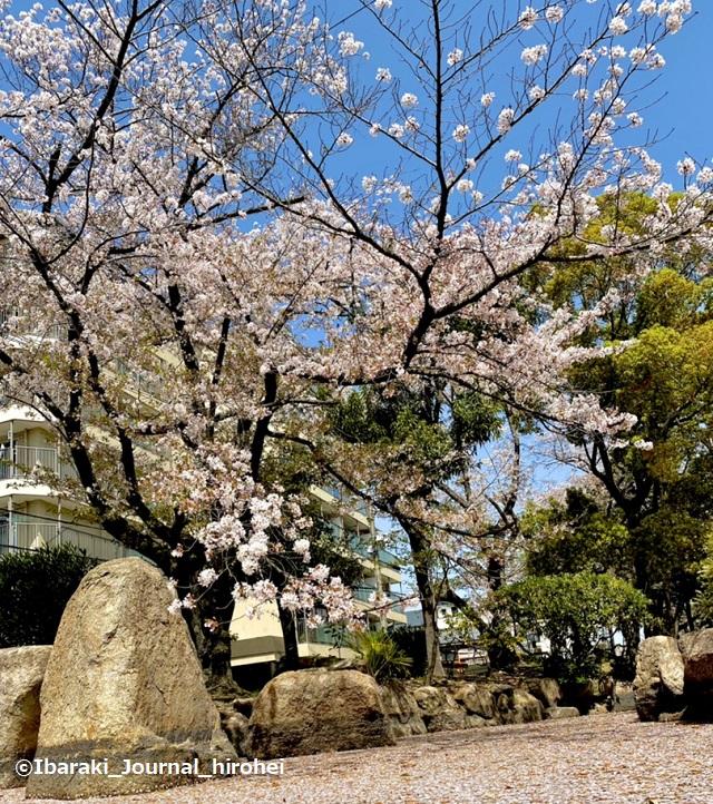 元茨木川緑地の桜6IMG_1669