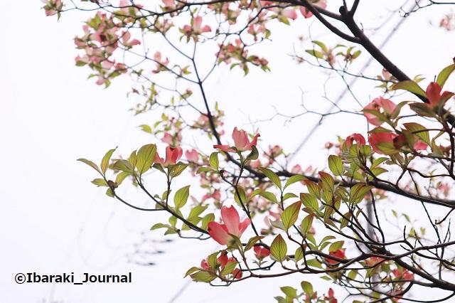 0412-9川端通りの樹木IMG_0128 (2)