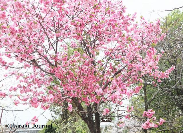 元茨木川緑地の桜の木IMG_9964 (2)