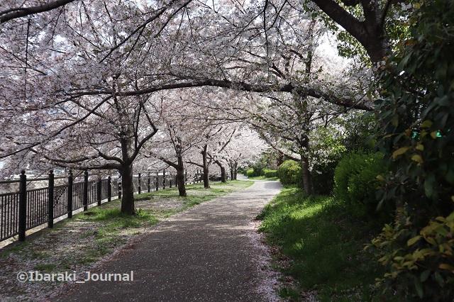0401宇野辺桜のトンネルIMG_9904