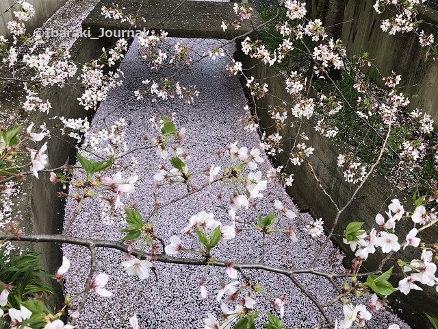 0401南茨木スギ薬局小川の桜2IMG_1132