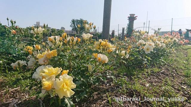 若園公園バラ園のバラ4DSC_1441