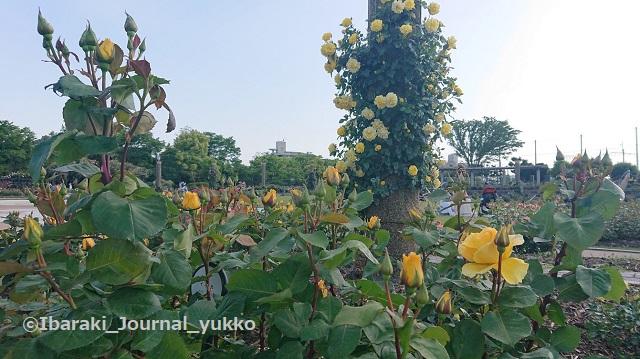 若園公園バラ園でDSC_1439