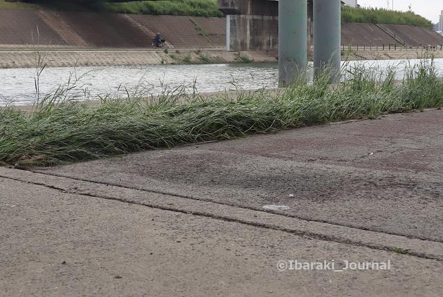 千歳橋そばの草IMG_0753