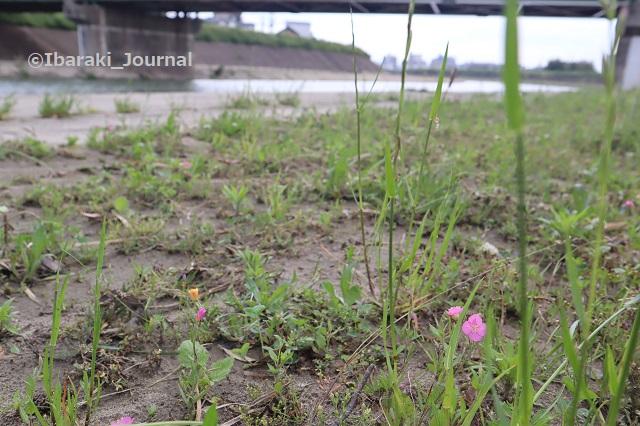 千歳橋そばの花IMG_0751