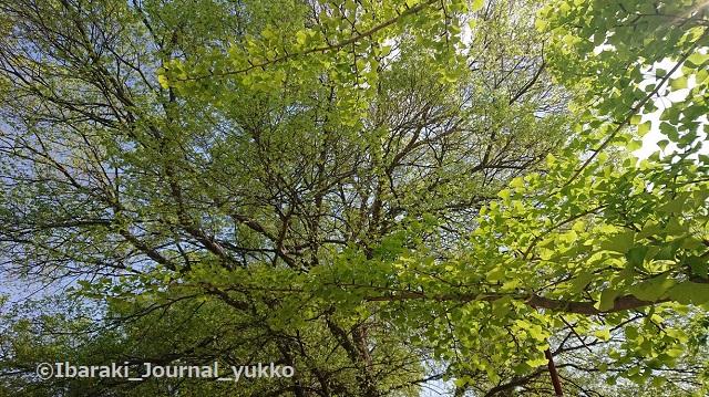 元茨木川緑地の木々2DSC_1433