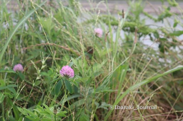 永久橋そばの花IMG_0739