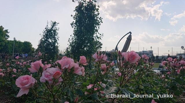 若園公園バラ園でDSC_1438