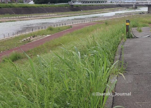 先鉾橋のほう安威川を見るIMG_0728