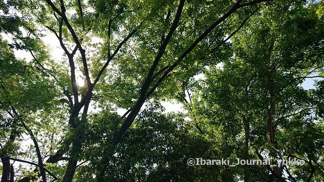 元茨木川緑地の木々1DSC_1424
