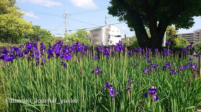 元茨木川緑地あやめ橋付近DSC_1436