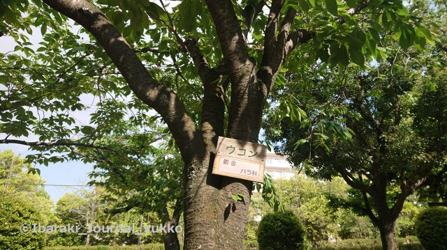 元茨木川緑地の桜ウコンDSC_0001_BURST20210503150847885