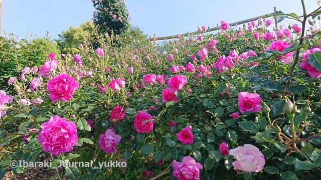 若園公園バラ園のバラ2DSC_1445