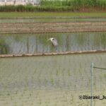 玉島の田んぼに鳥IMG_1502