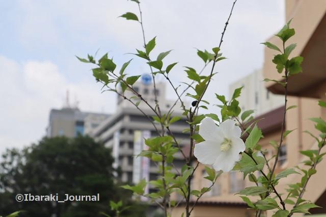 0709イバラボ芝生広場近くの花と市役所IMG_2109 (2)
