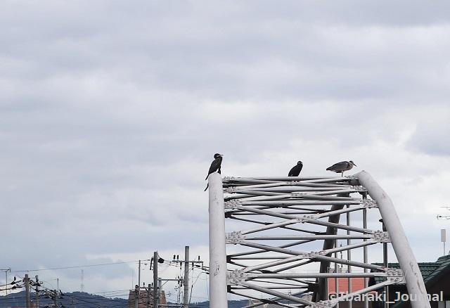 0809千歳橋の水鳥IMG_2941 (2)