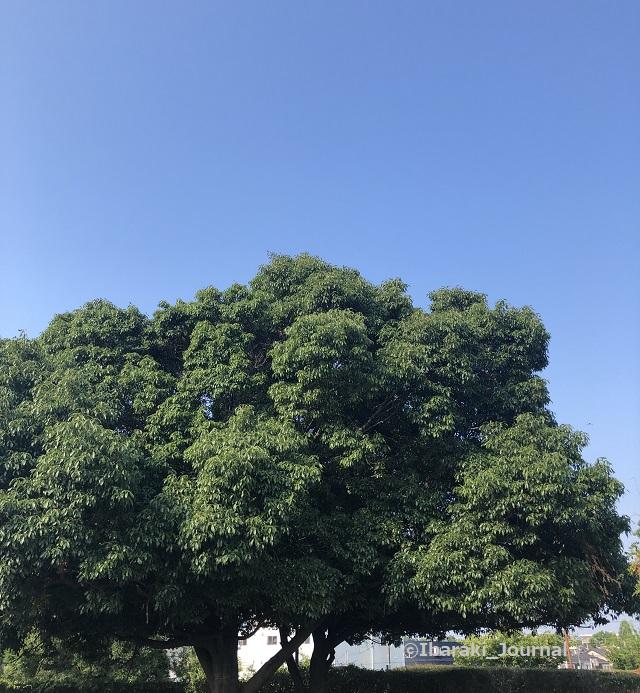 08012安威川そば公園の木20210805075635