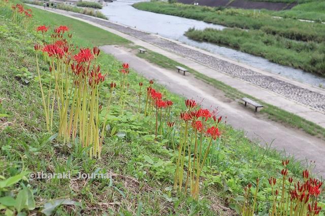 0912安威川のヒガンバナIMG_4011 (2)